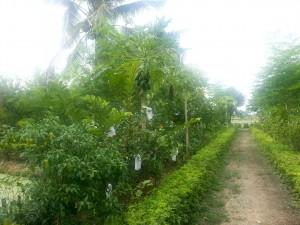 ไม้ผลในสวน